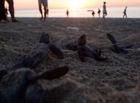 Nem magyar hóbort: tengeri teknősök fészkét rongálta egy nő Miamiban