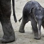 Megvan a budapesti kiselefánt neve