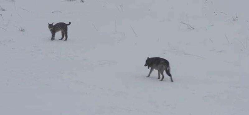 Ritka ragadozók találkozását vették fel a Kárpátokban – videó