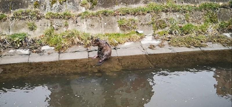 Ez egy hód! Ez egy hód? - Újabb videó a Rákos-patak új lakójáról