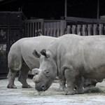 Megtalálták a kiskaput: az interneten árulják a lefűrészelt orrszarvútülköket