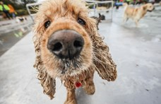 A képzettebb kutyák több jutalomfalathoz jutottak az ELTE kísérletében
