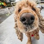 Egy új kutatás szerint ezek a kutyafajták vannak a legnagyobb veszélynek kitéve a hőség miatt