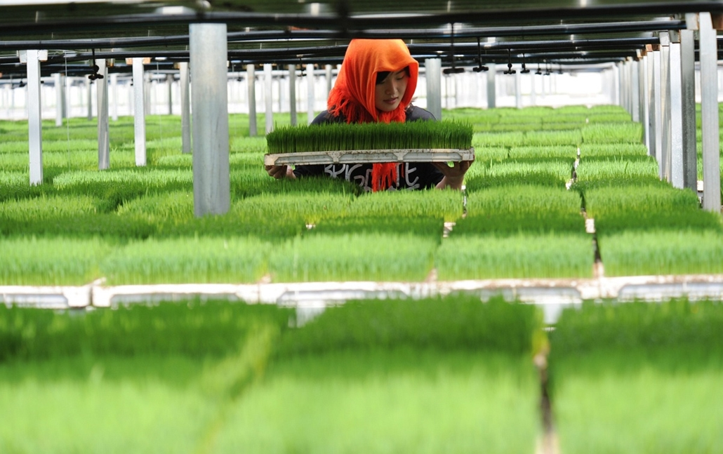 afp. nagyítás - hét képei - Lianyungang, Kína 2014.05.29. nő dolgozik üvegházban - A woman works in a greenhouse in Lianyungang, east China's Jiangsu province on May 29, 2014. European businesses fear the good times are over in China, a survey showed, cit