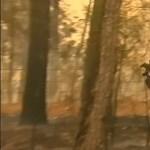 Elpusztult a koala, amelyet egy blúzba csavarva mentettek ki az égő erdőből