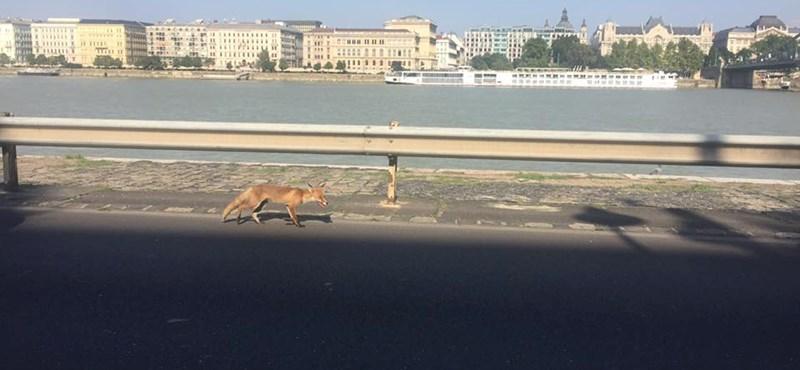 Lesoványodott róka sétál a budai alsó rakparton – fotó