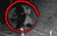 Vadon élő óriáspandák ádáz küzdelmét kapták lencsevégre Kínában – videó