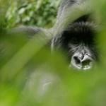 Gorillák végveszélyben – Nagyítás-fotógaléria
