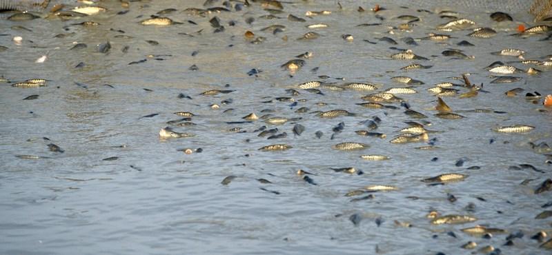 A halgazdaságok már halásznak a karácsonyi rohamra