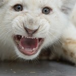 Fotó: ma van a Tigrisek Világnapja!