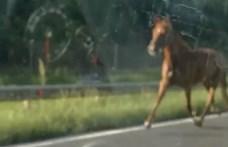 Eljárás indult az M7-esen szaladgáló lovak miatt