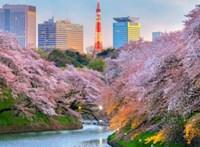 Tájfunok miatt borultak ősszel is virágba a japán cseresznyefák