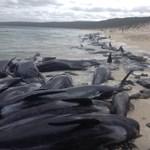 Fotó: több mint százötven cetet vetett partra a tenger Ausztráliában
