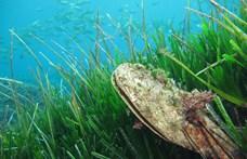 Rejtélyes kórokozó pusztít a vizekben, aggódnak a horvátok a sonkakagyló miatt