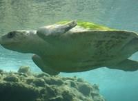 Megvizsgálták két óceán 102 teknősét, az eredmény lesújtó
