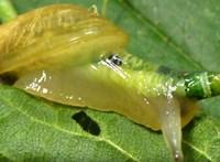 Zombivá teszi a csigákat a fejükbe költöző féreg - undorító videóval!