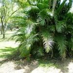Nálunk is kedvelt dísznövény az Areca pálma - Tippek a gondozáshoz