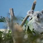 Elpusztult a fővárosi állatkert egyik koalája