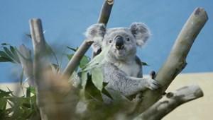 Kihalhatnak a koalák Ausztrália egyes részein