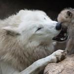Előkerült a semmiből még 13 német farkasfalka