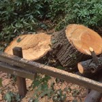 Azt is megbüntetik a II. kerületben, aki a saját udvarán vág ki engedély nélkül fát
