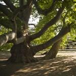 Fotók: egri platán lett az Év Fája Európában