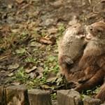 Játékos kedvű vidracsaládot videóztak le Békéscsaba belvárosában