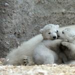 Első fotók a 10 napos jegesmedvebocsokról