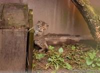 Házi macskának néztek egy vadmacskát Somogyban, hamar feltűnt, hogy nem olyan kezes