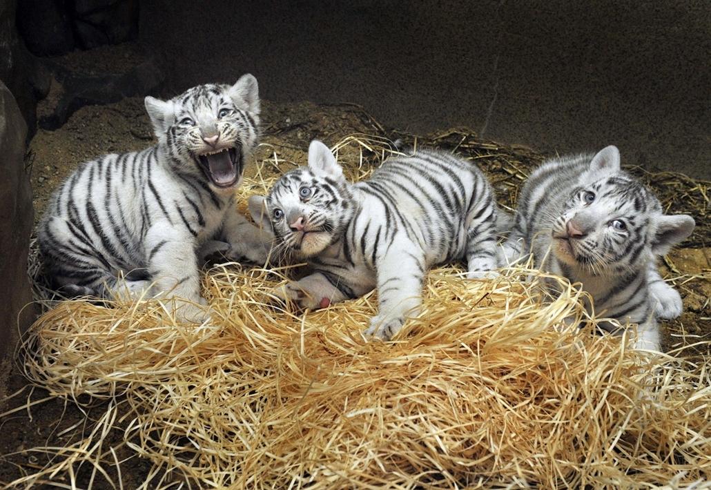 Újszülött indiai tigrisek várnak az állatorvosra a Liberec állatkertben, Csehországban