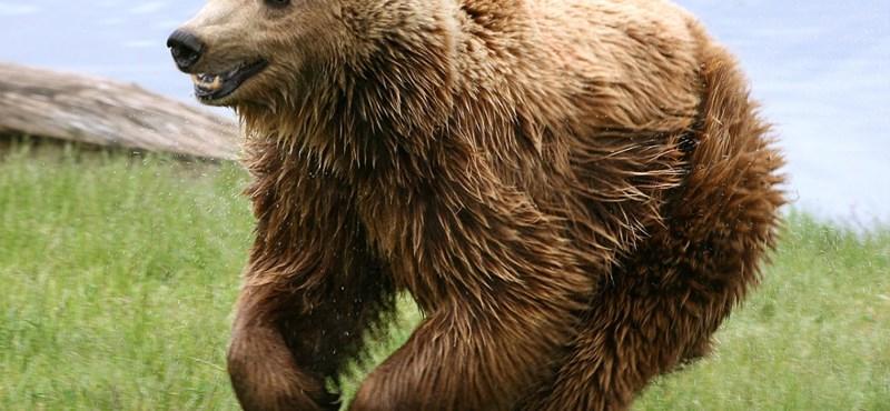Szökni próbáló medvét lőttek le a bajmóci állatkertben