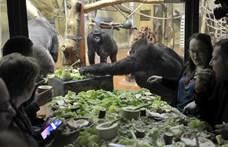 Fotók: Gorillákkal falatoztak állatvédők az állatkertben