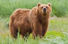 A villanypásztortól sem riadt vissza az a barna medve, amit nagy erőkkel keresnek Olaszországban