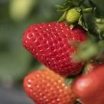 Az eperben, a spenótban és a kelkáposztában lehet a legtöbb növényvédőszer-maradvány
