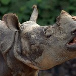 Elektromos kerítéssel védik az orrszarvúkat Indonéziában