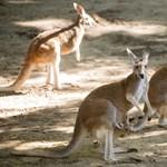 Halálra dobáltak kövekkel egy kengurut egy kínai állatkertben