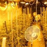 Kisebb kannabisz-ültetvényt találtak egy táborfalvai férfi pincéjében