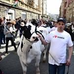 Célt ért a tehénfelvonulás? Tejtermék-ellenőrzést rendelt el a tárca