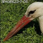 Meglőttek egy gólyát, miután hazatért