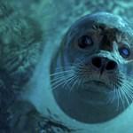 Fóka harapott meg egy úszót San Francisco partjainál és megpróbálta mélybe rántani