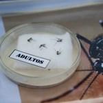 Globális egészségügyi vészhelyzetet hirdettek a zikavírus miatt