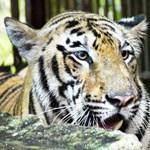 Tigris támadt egy nőre Csehországban