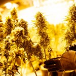 Még a kutatókat is meglepte, milyen környezetszennyező az otthoni marihuánatermesztés