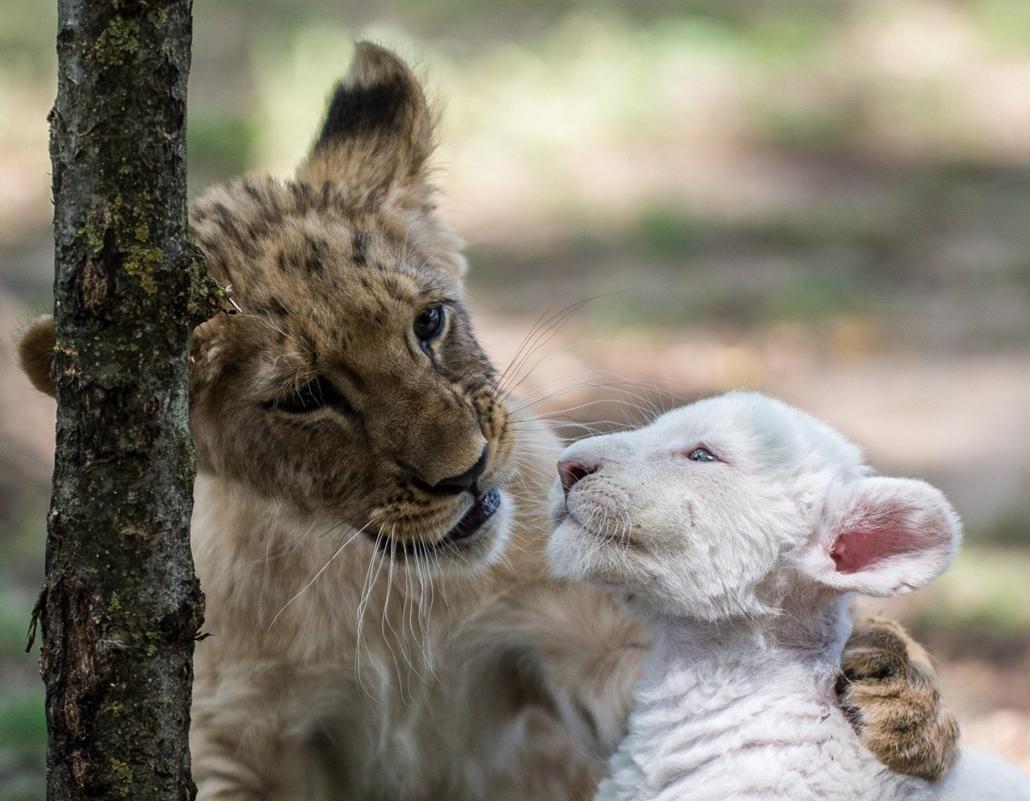 mti.16.06.30. - Felsőlajos: Egy fehér és egy barna oroszlánkölyköt nevelnek együtt a felsőlajosi állatkert gondozói