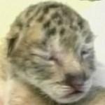 Tigrist és oroszlánt kereszteztek Taivanon - videó