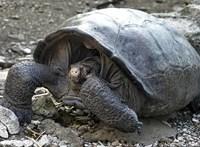Száz éve kihaltnak hitték ezt a galápagosi óriásteknőst, úgyhogy most nagy a meglepetés