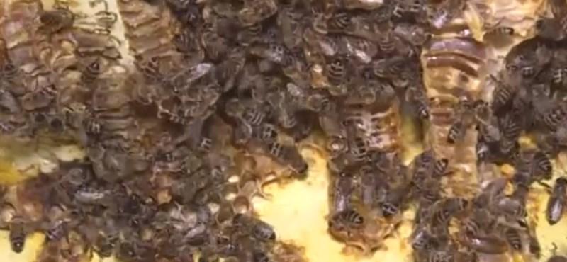 Több tízezer méh élt egy egri ház plafonjában