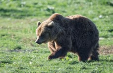 Medve járőrözött Miskolcon (videóval)
