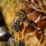 Már nem használható szert is kimutattak a méh hullájában