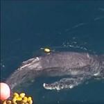 Cápaháló fogságából mentették ki a bálnaborjat – videón a hősies akció